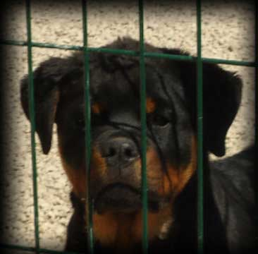 From House Rotvis Rottweiler Kennel Ukraine