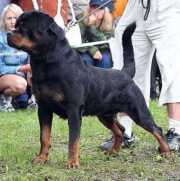 http://www.rotwis.com.ua/kennel/dogs/male/morro/morro_ks06_kr2.jpg