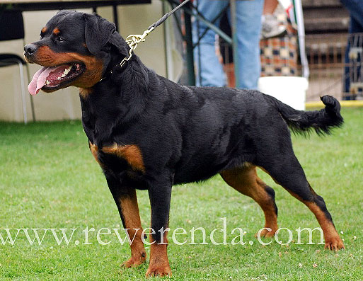 Worlds Biggest Rottweiler